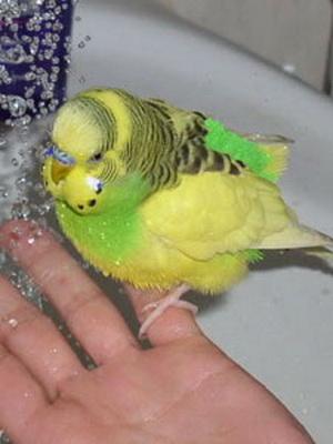 Как купать попугая