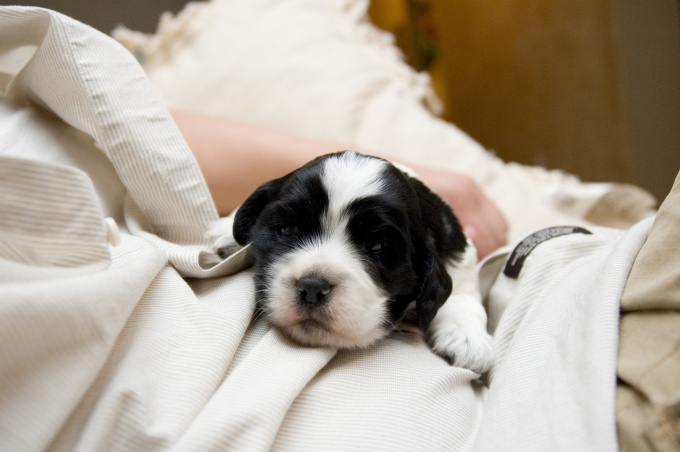 как правильно купать щенка спаниеля