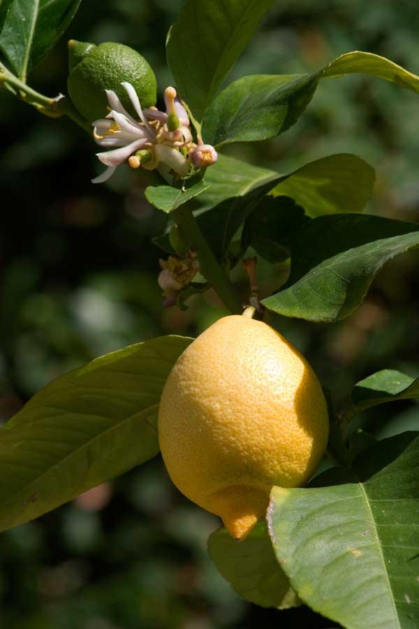 Лимоны хорошо плодоносят в домашних условиях