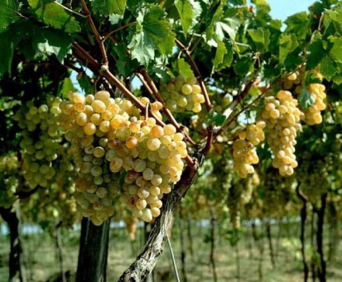 Как сажать виноград в сентябре 120