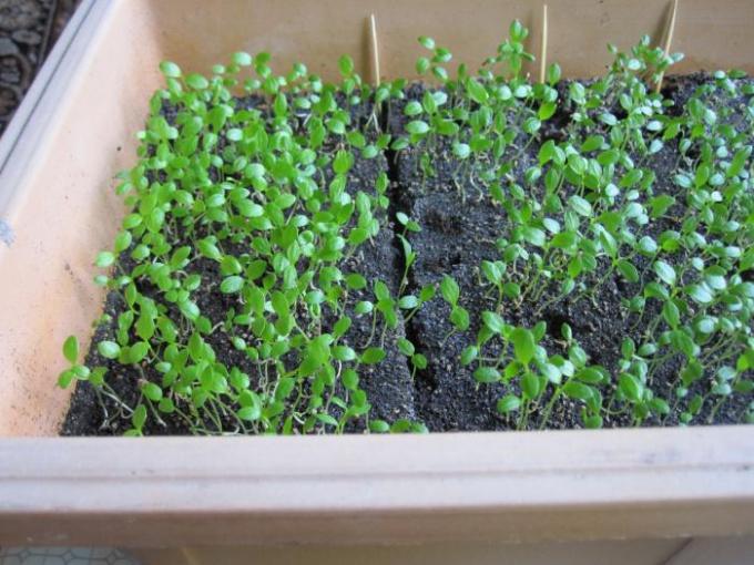 Начинайте выращивать сельдерей в самом начале марта, чтобы собрать до холодов