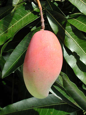 How to grow a mango at home