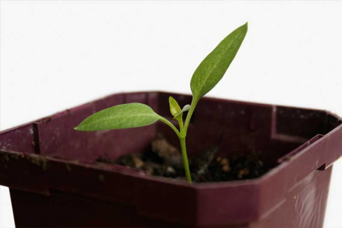 Рассада перца очень нежная, поэтому сажать растения нужно в отдельные стаканчики