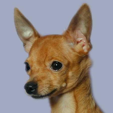 How to put ears toy Terrier