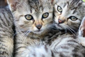 если котята не подружились сами, им нужно помочь