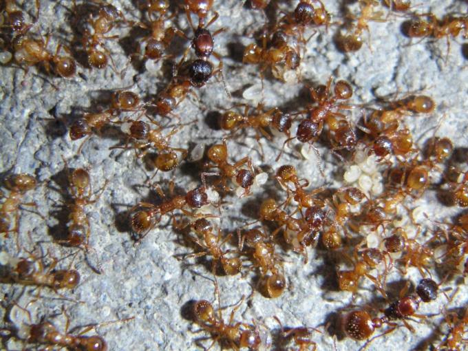 Домашние муравьи это настоящее бедствие