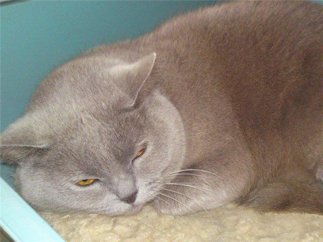 ушной клещ у домашних кошек