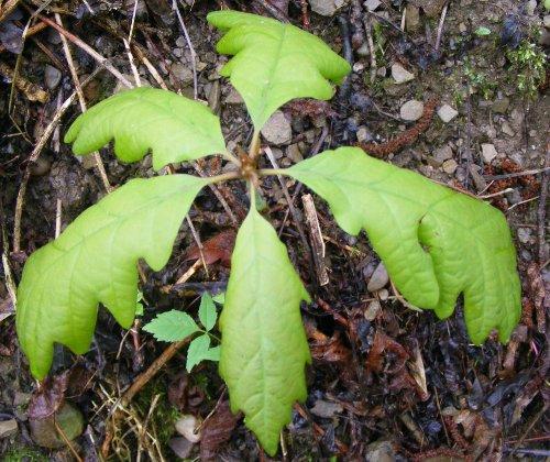 Как вырастить дуб из <b>жёлудя</b>