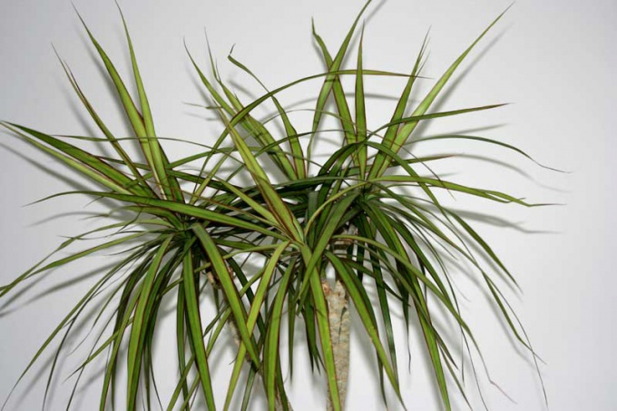 Драцена относится к числу наиболее любимых комнатных растений