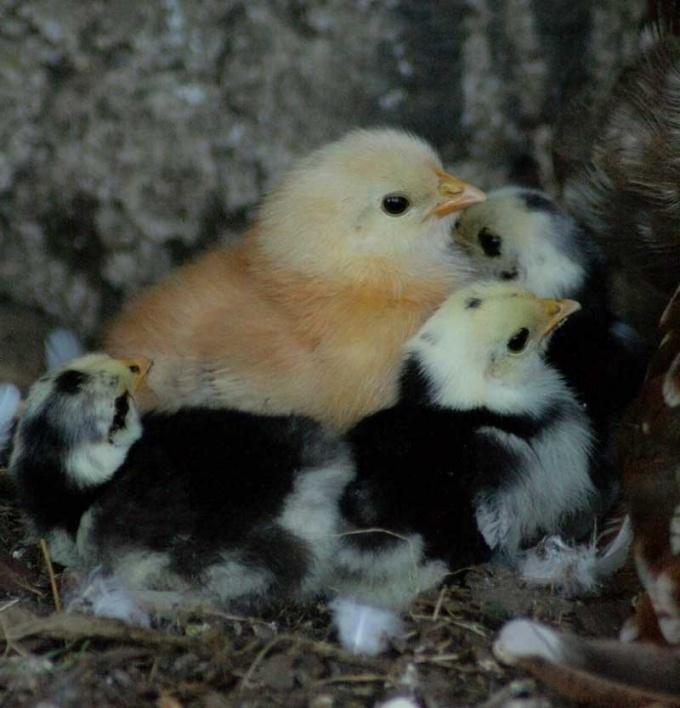 Маленькие цыплята, как и все дети, нуждаются в особом уходе