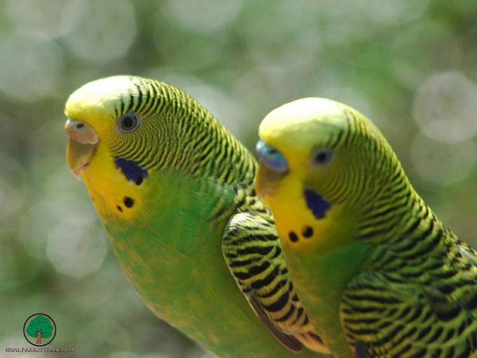 выпадение перьев у клюва у попугаев