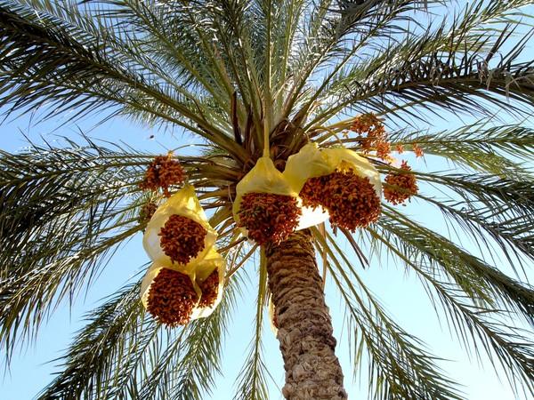 Такой ваша домашняя пальма не вымахает, но плодоносить будет лет через семь после посадки