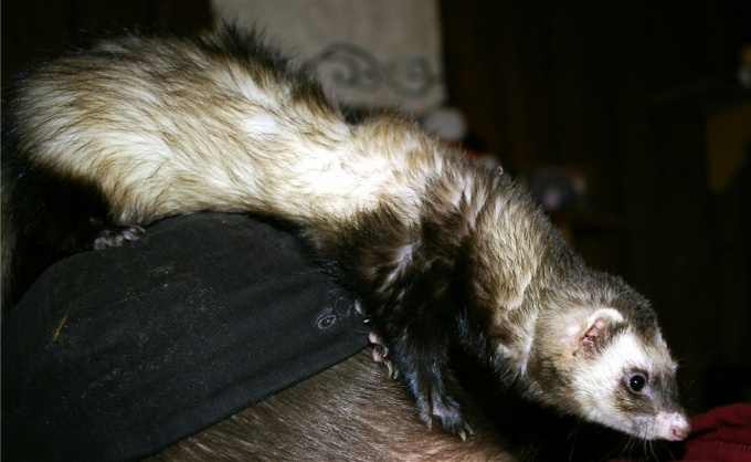 Ferret - an animal cunning and resourceful