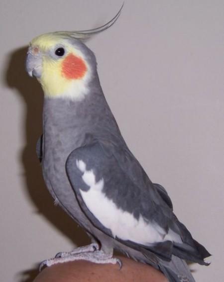 Как обучить говорить попугая кореллу