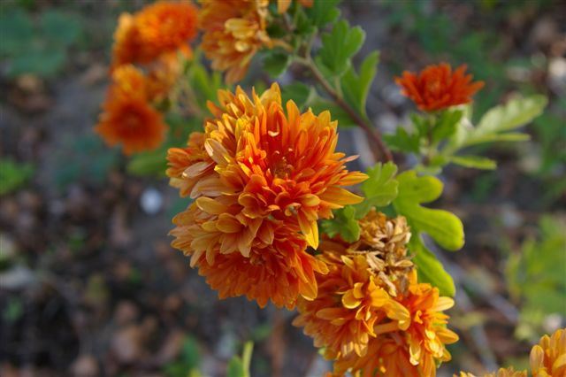 Chrysanthemums are relatively undemanding to soil