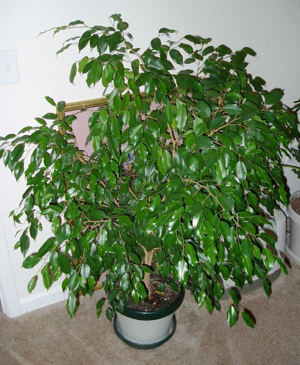 Transplant the ficus need in the spring and summer