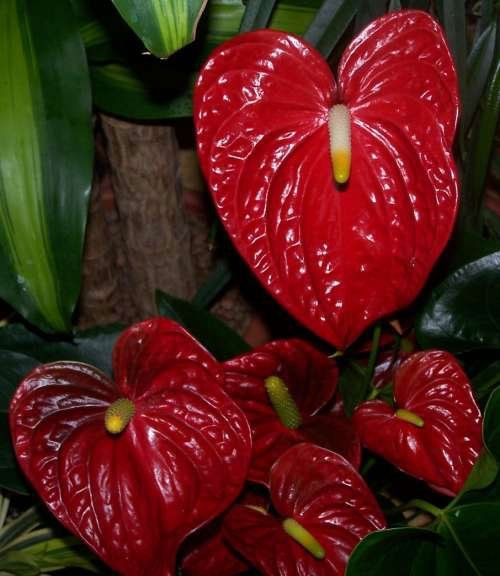 Spring and summer is the ideal time to transplant Anthurium