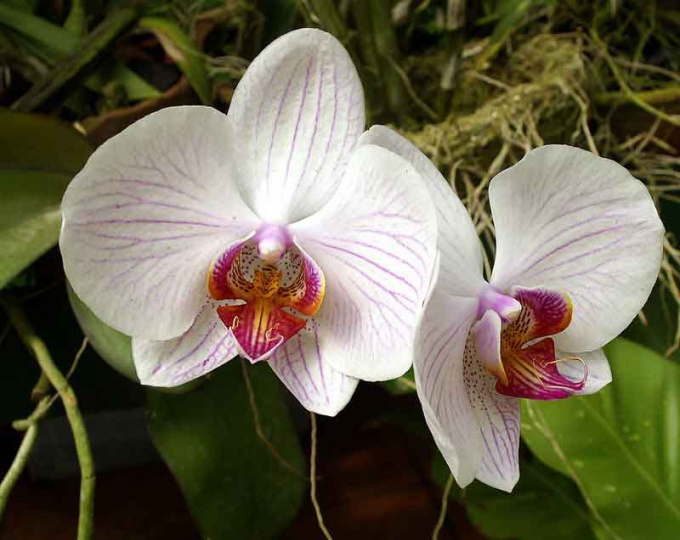 Orchids are transplanted every one or two years