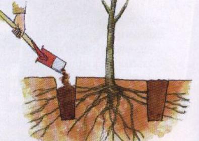 Как пересадить <strong>дерево</strong>