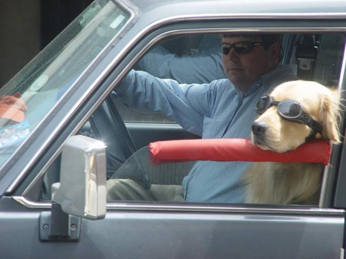 Как перевозить собак