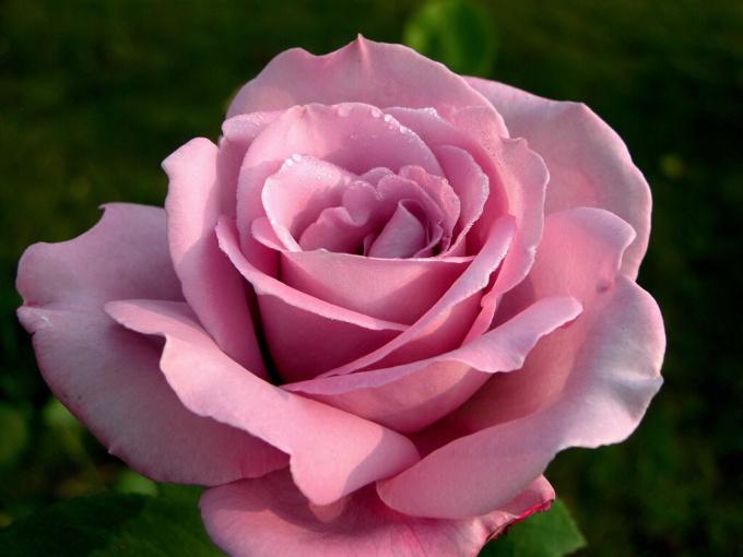 Дарите розы, хризантемы, гвоздики. Они расскажут о вашей любви