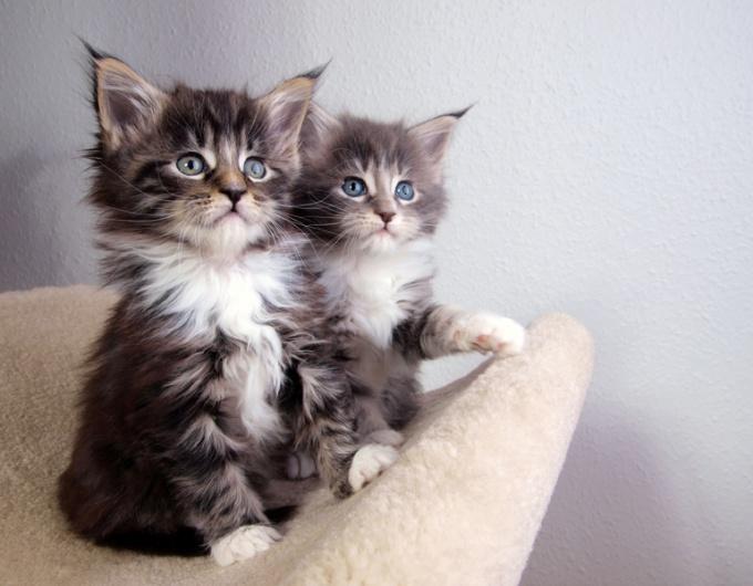 как определить кот или кошка у котят