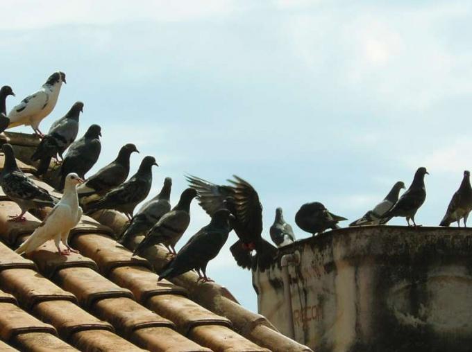 Голуби устраивают свои гнезда на крышах домов.