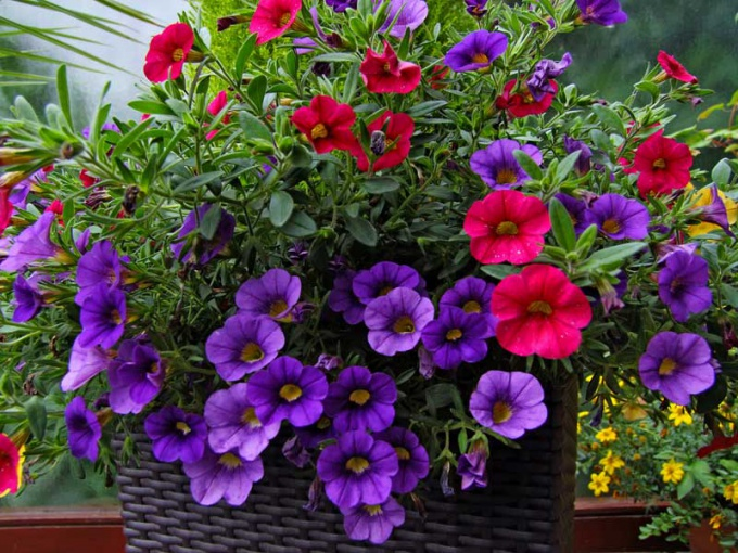 Petunias are often used to decorate balconies