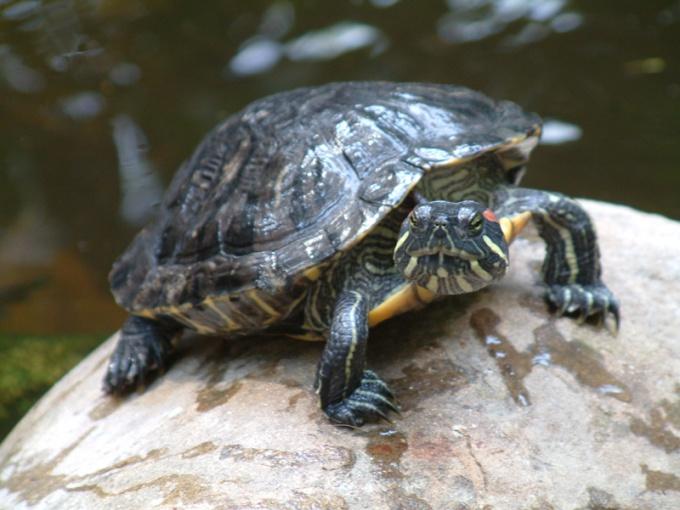 как отличить самца красноухой черепахи от самки