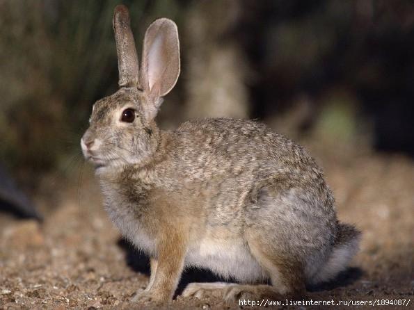 Как отличить бобра от кролика