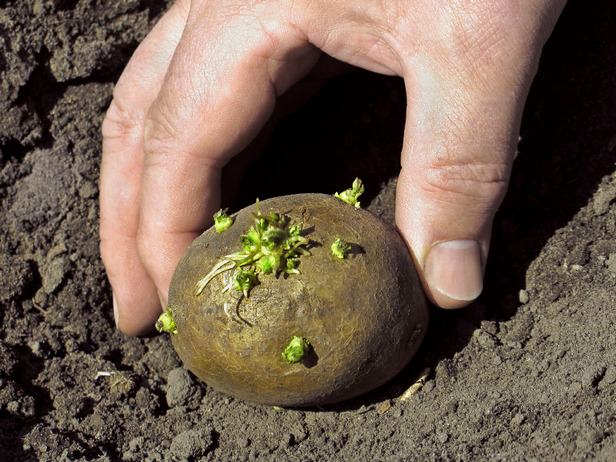 How to plant <strong>potato</strong>