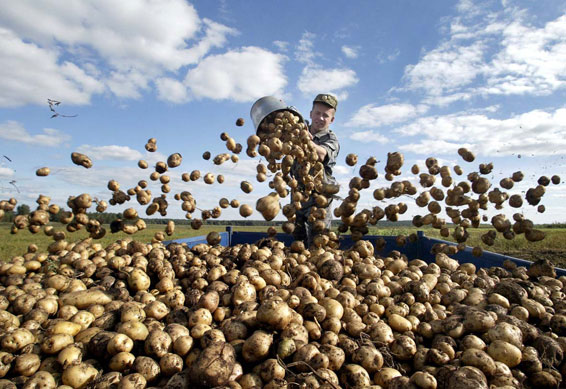 Как сажать картофель