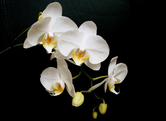 Как выращивать орхидеи