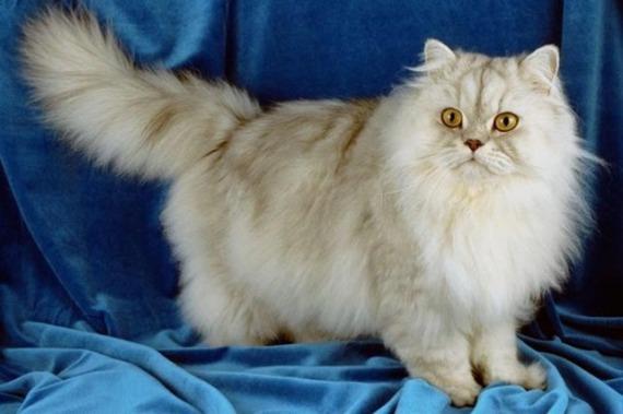 как можно назвать персидского кота мальчик