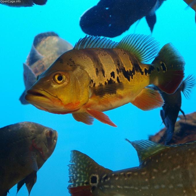 Окунь - рыба речная.