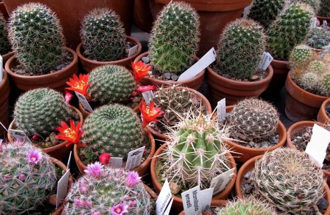 Полив кактусов организуется в заисимости от сезона.