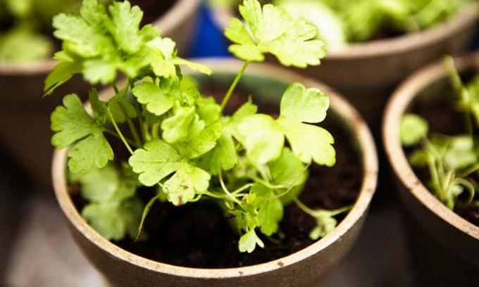Свежую зелень можно вырастить в цветочном горшке