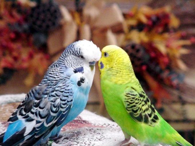 как развести волнистых попугаев без мальчика что надо давать