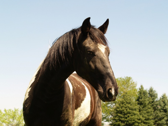 как приучить коня
