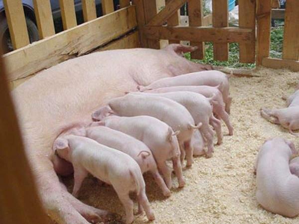 Как разводить свиней