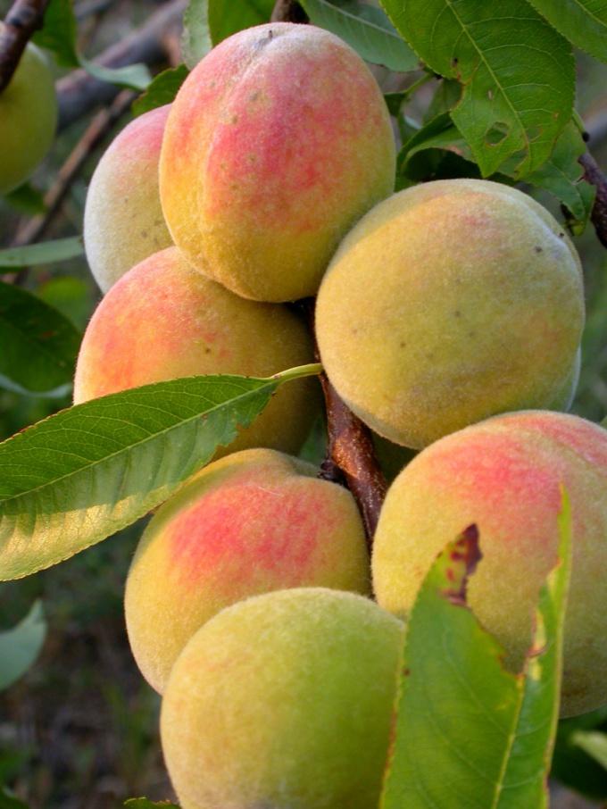 Выбирайте морозоустойчивые сорта персика