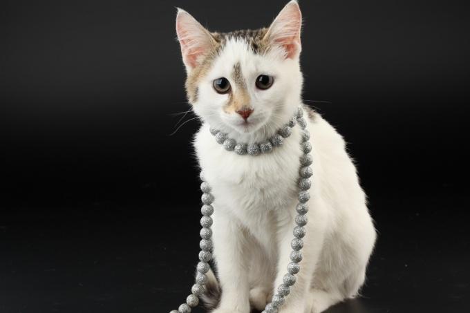 стрижка британских кошек ножницами