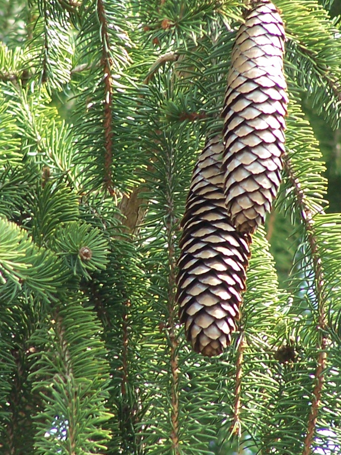 How to plant spruce