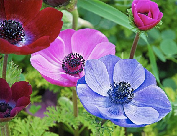 Anemone castellated - gentle Queen of your garden.
