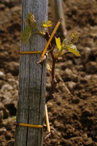 Черенкование - один из самых простых способов размножения виноградной лозы