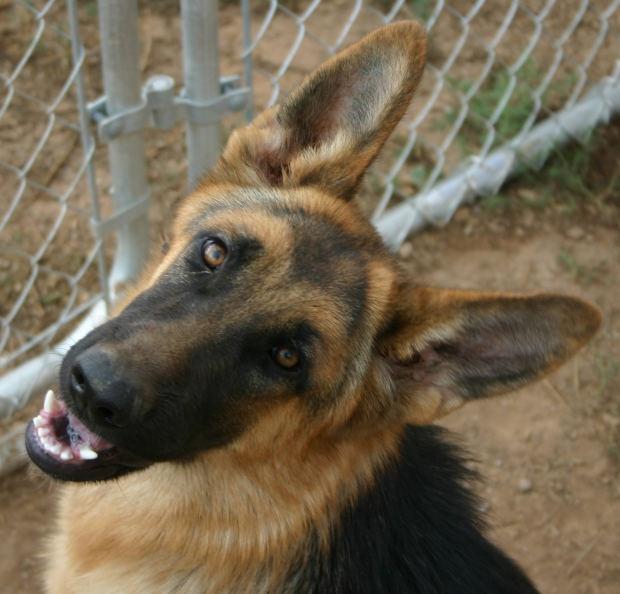 образец международная родословная собаки