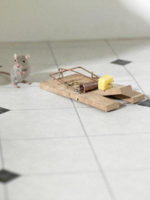 Хитрая мышь может научиться воровать приманку из мышеловки