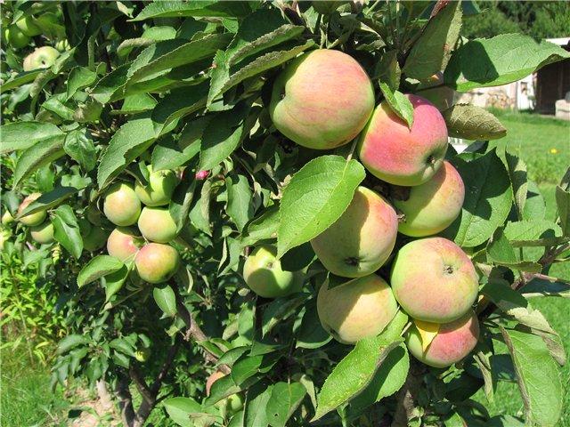 Как сажать яблони