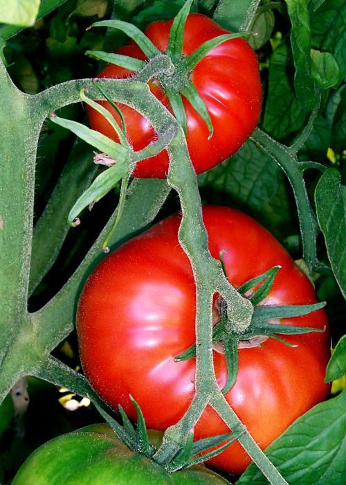 вырастить помидор на подоконнике