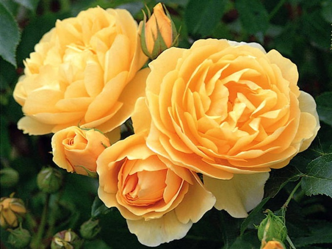 Proper pruning affects the quality and profusion of flowering roses